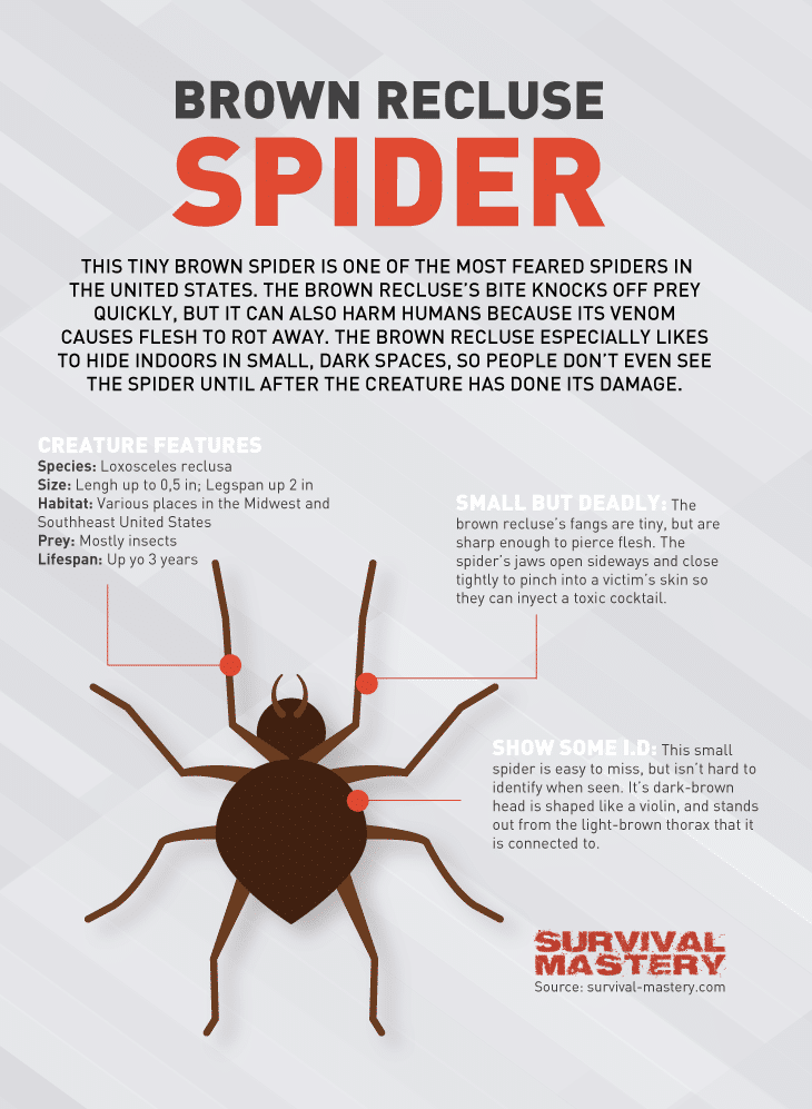 Brown Recluse spider infographic
