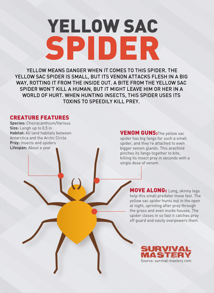 Yellow Sac spider infographic
