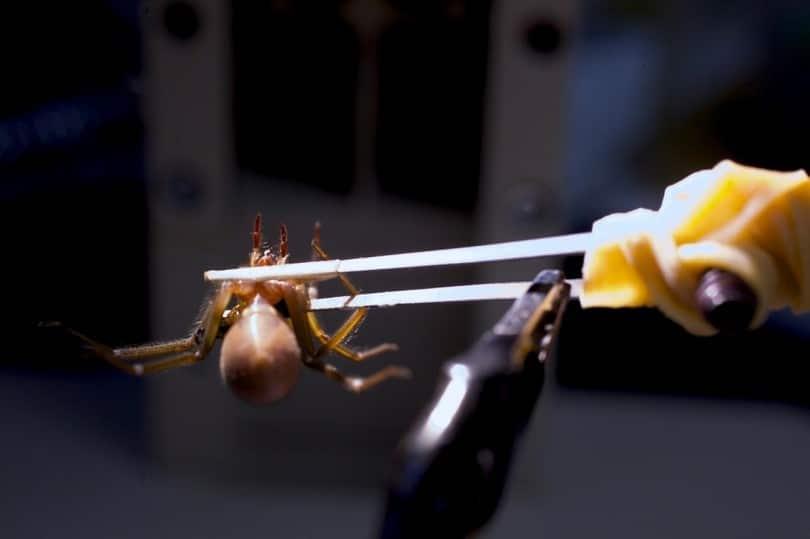 Spider treatment