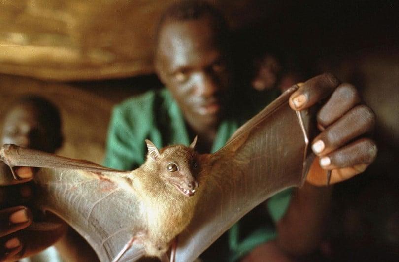 Bats Ebola virus