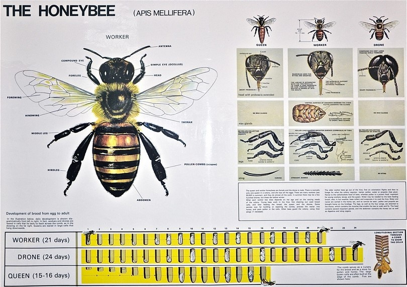 Honey bee chart