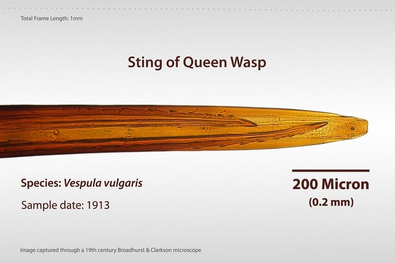 Sting_of_Queen_Wasp