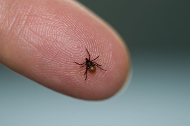 Tick and Lyme disease
