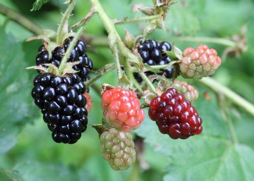 Fruit in wild