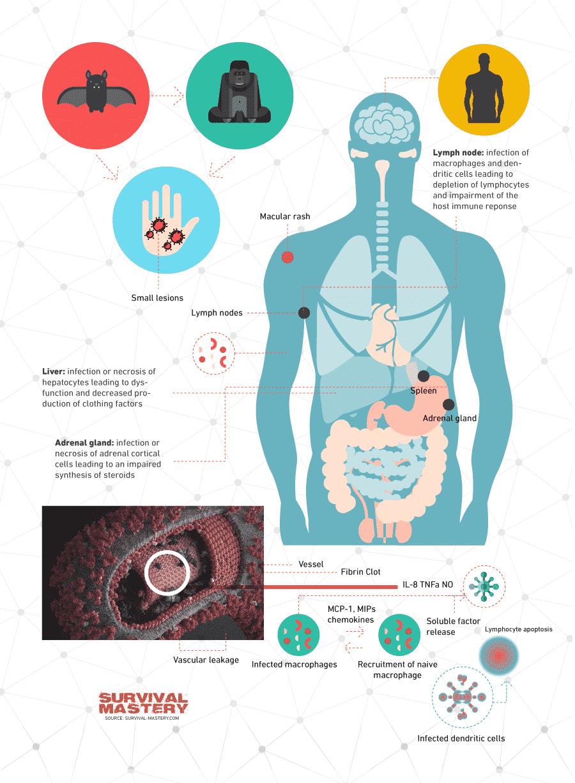 Model of Ebola virus infographic
