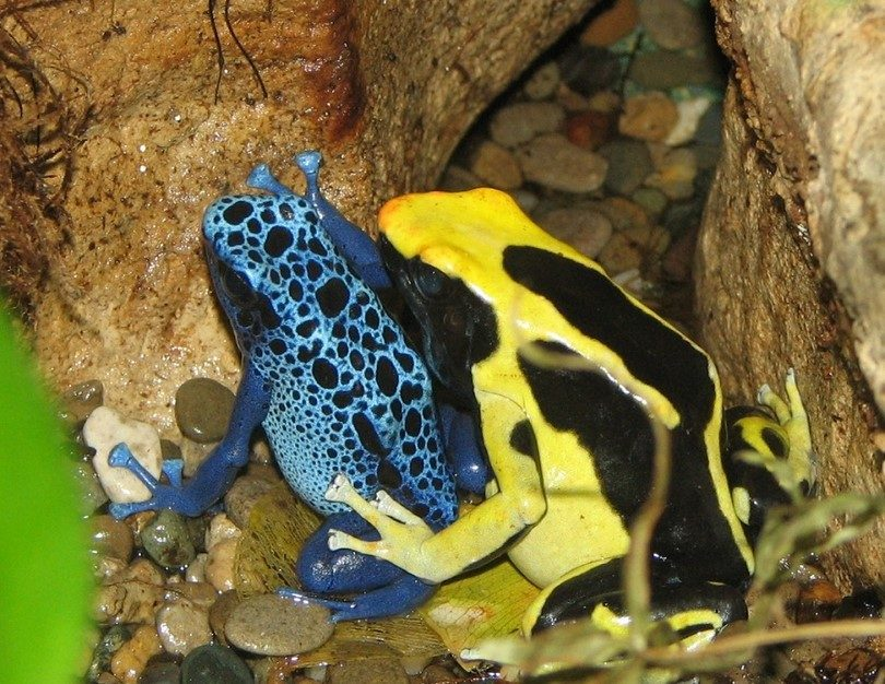 Poison_Dart_Frogs