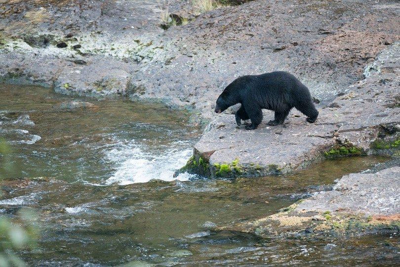 Black bear near river