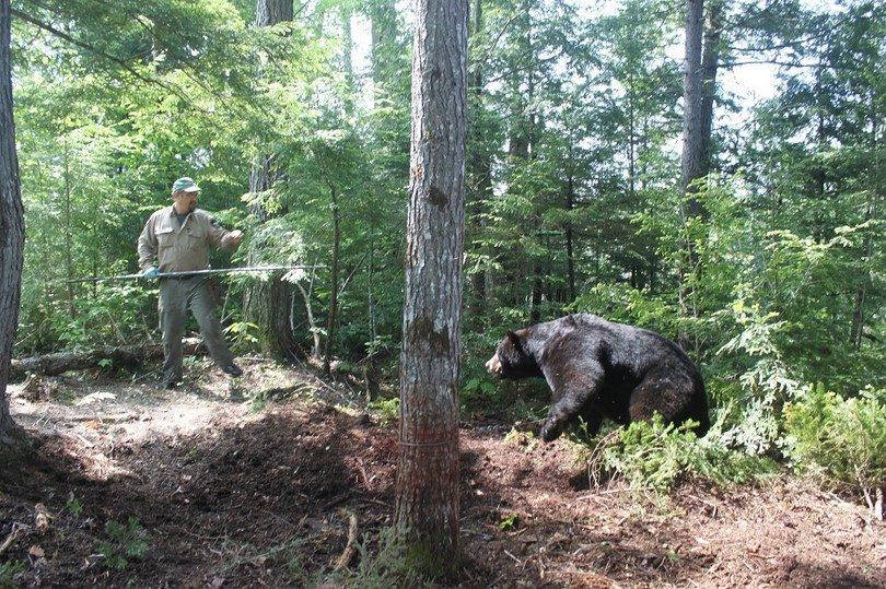 Black bear ready to attack