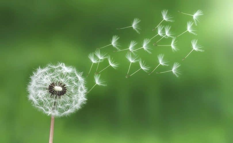 Dandelion on the wind