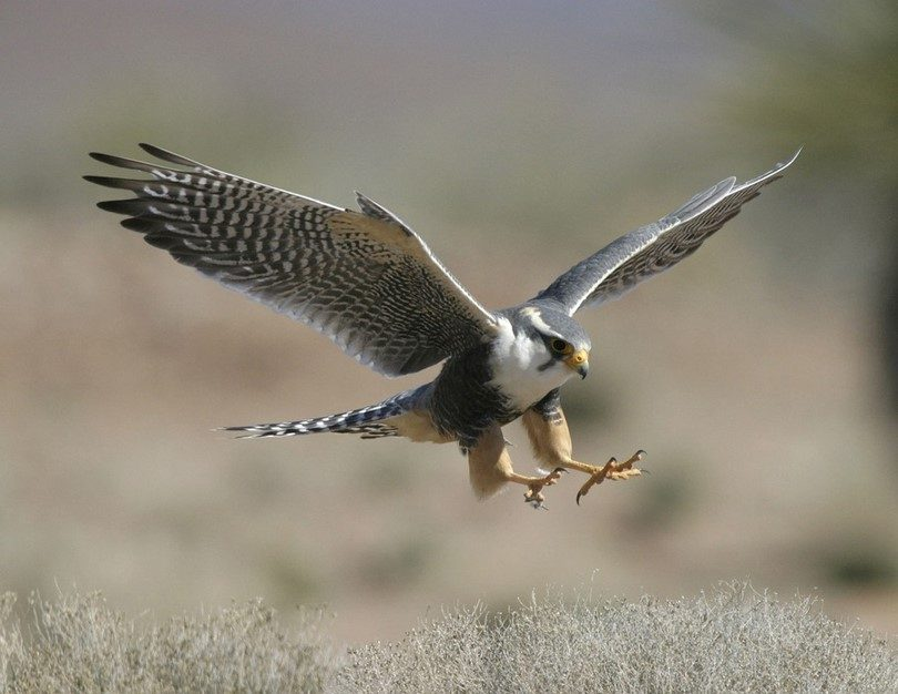 Using falcons to hunt