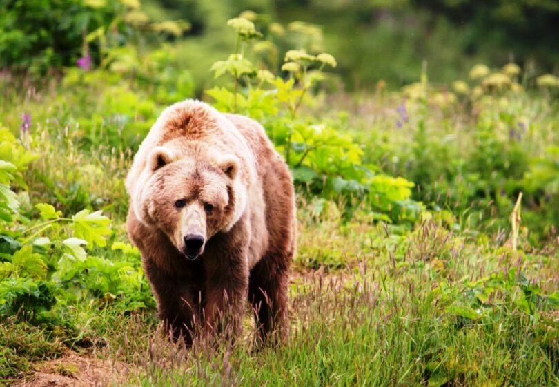 Bear Hunting Tips