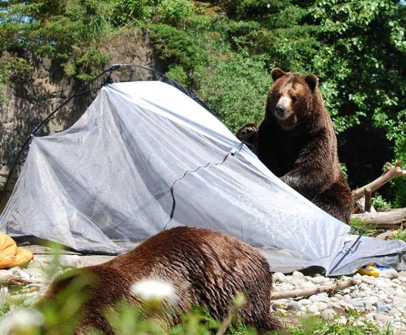Bear attacks tent