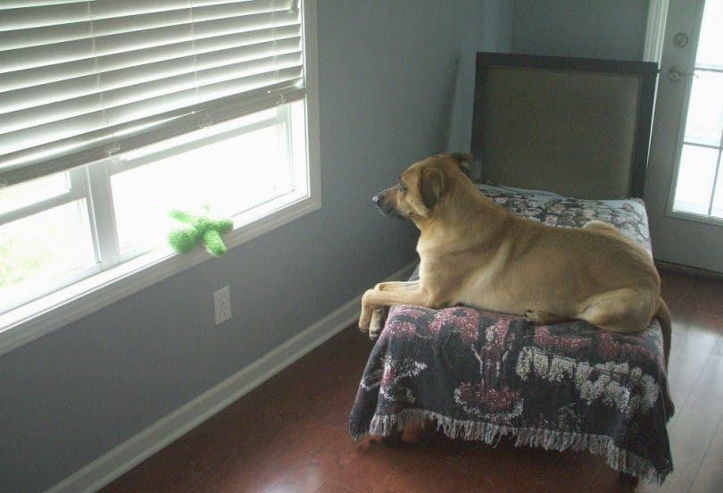 Dog guarding the house