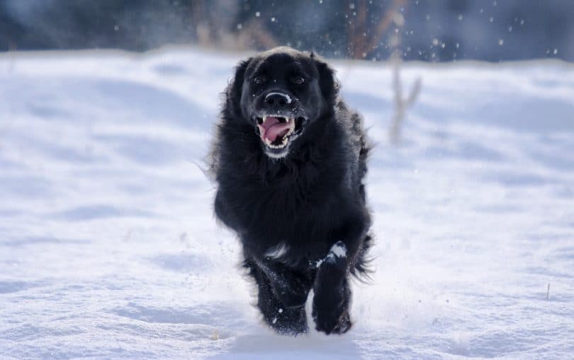 Newfoundlands protects