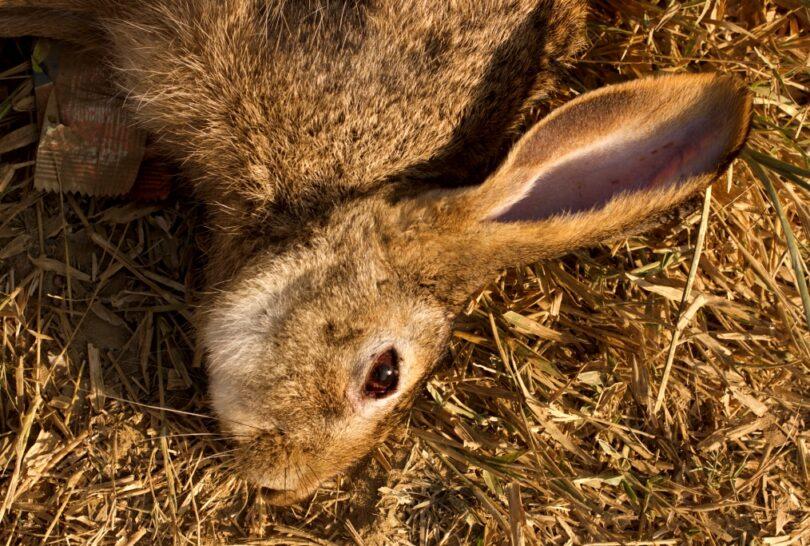 Rabbit Hunting Tips