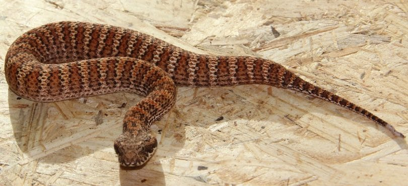 The Common death adder