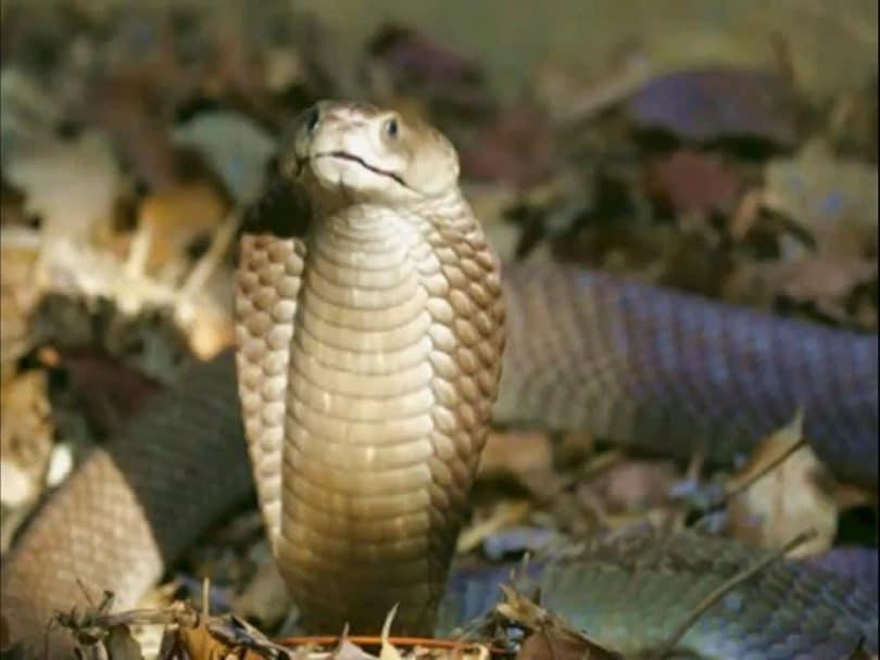 The Philippine Cobra