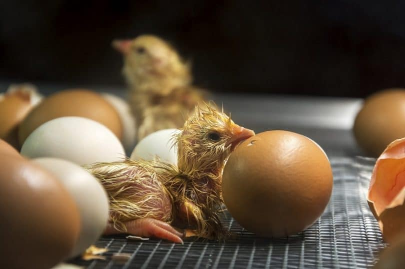 Chicken eggs hatching