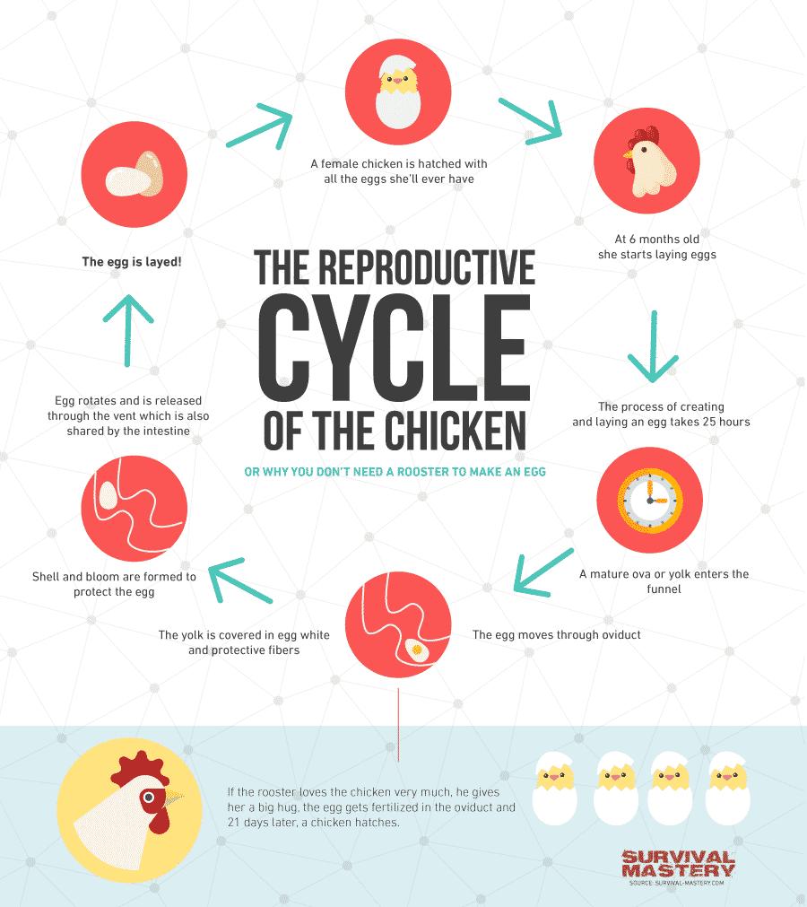 Raising_chickens infographic