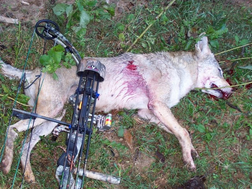 Coyote ethical kill
