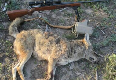 Coyote_hunting