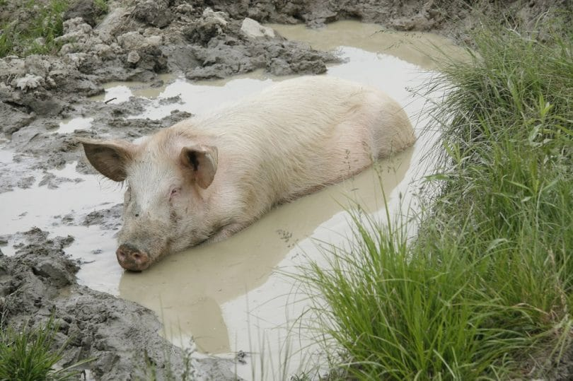 Pig mud wallow