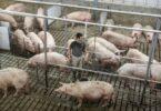 Raise pigs