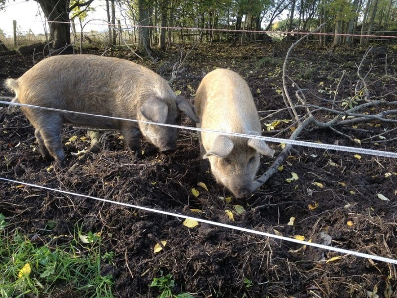 Securing pig housing