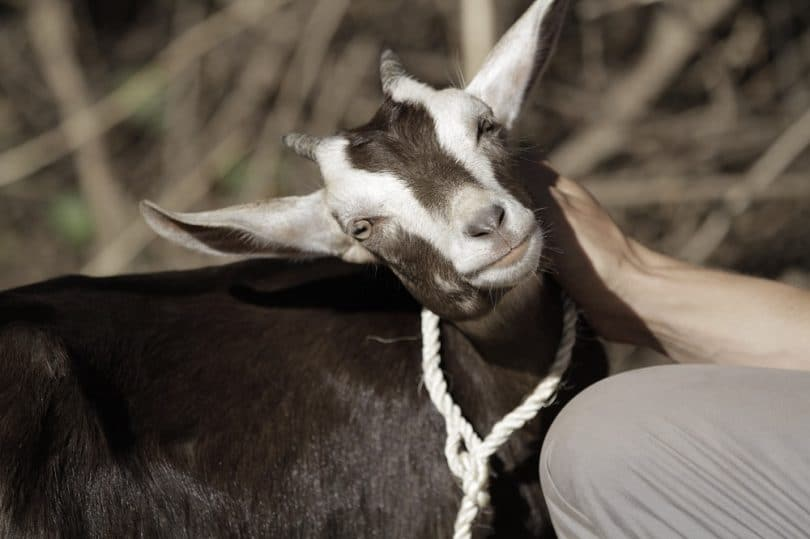 Taking care of a goat