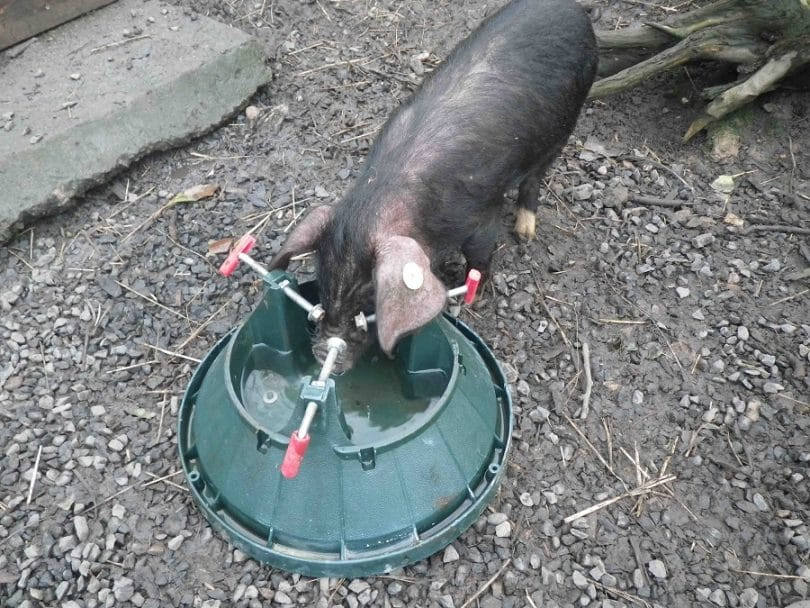 Water for pigs