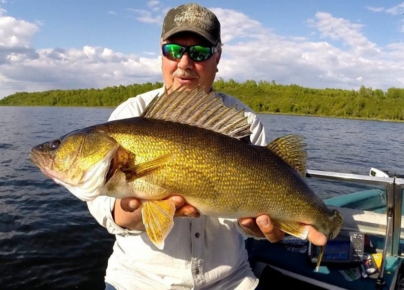 Walleye fish in summer