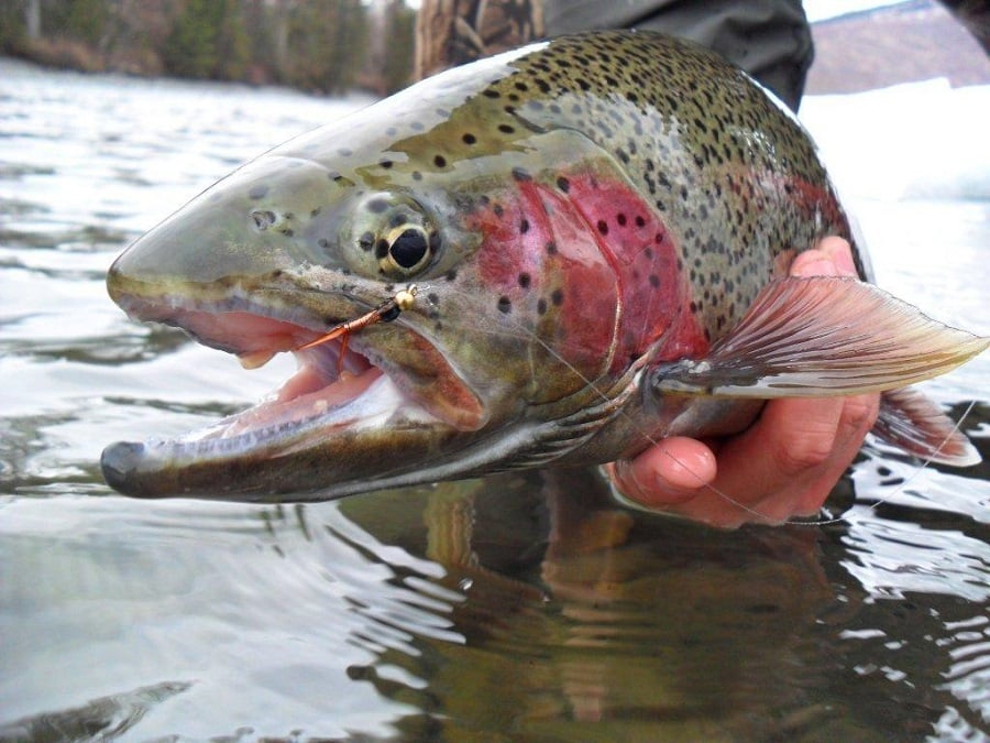 Best rainbow trout bait know the trout and lure it in for Best lures for river fishing