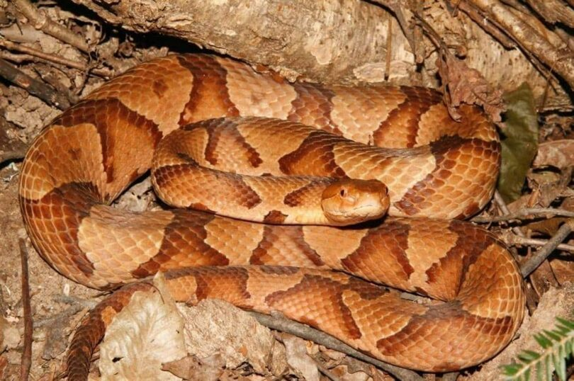 Adult Copperhead Snake