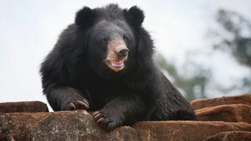 Anry Black Bear