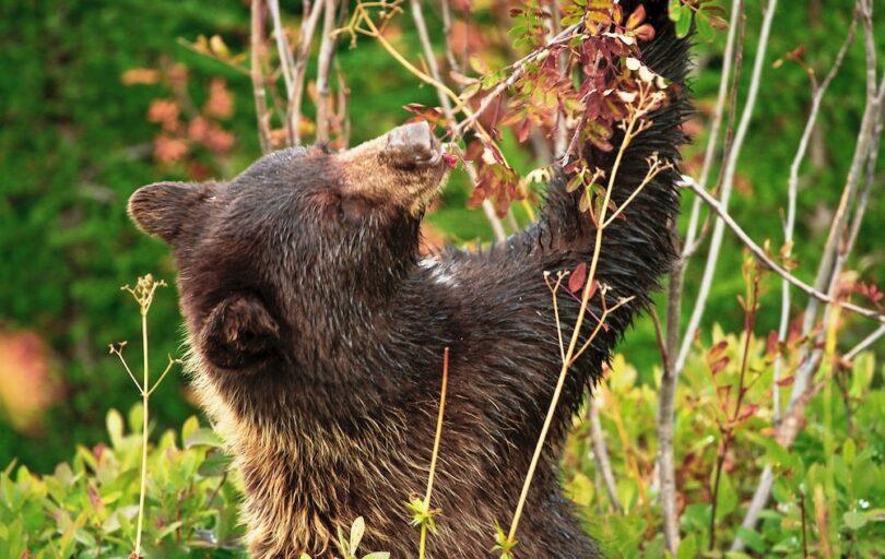 Bear Eating Berries