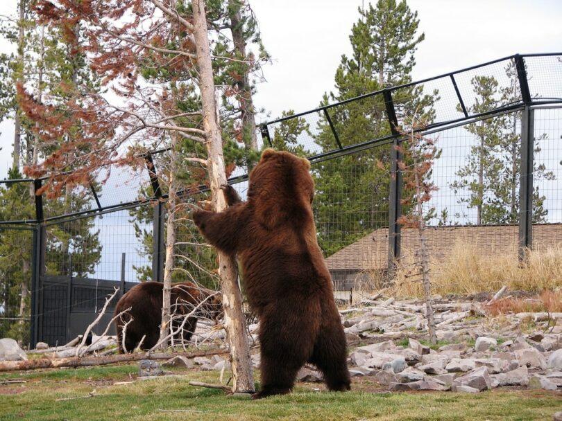 Bear Shaking Tree