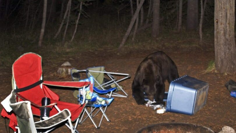 Bear in a Camp Site