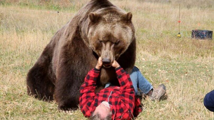 Brown Bear Attacks Human