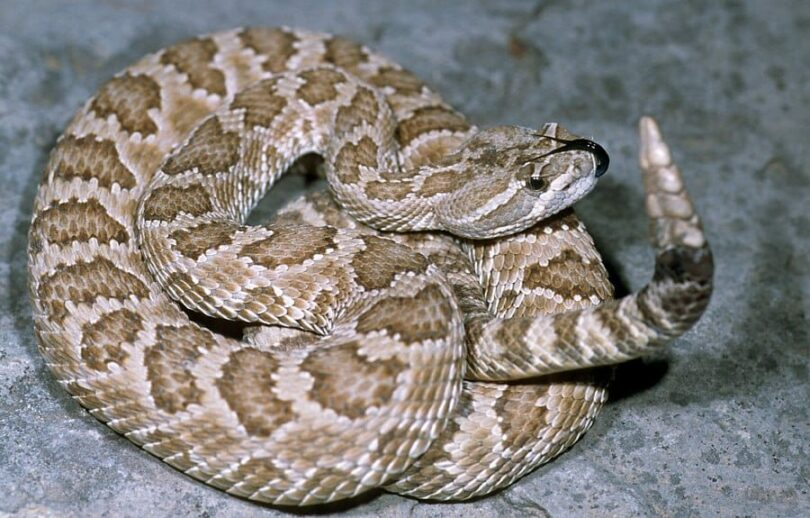 California Rattlesnake