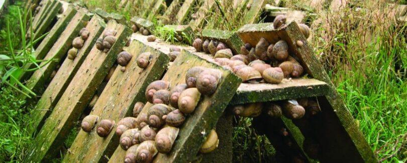 Farming Snails
