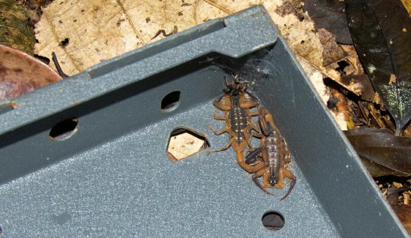 Scorpions Trap