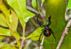 Feature image of black widow spider for survival-mastery