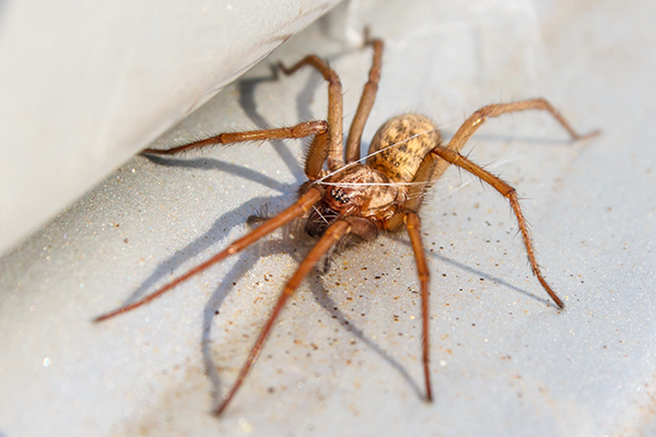 Hobo spider up close on survival-mastery